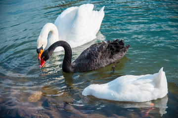 Graceful swans on water