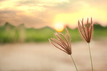 Nut grass, cocograss, against sunlight in sunset landscape blurr