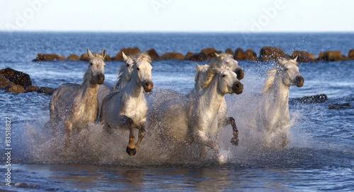 White horses running along the edge of the sea in France. © gudkovandrey