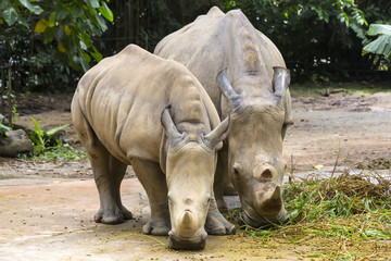 large adult rhino eating grass in a zoo