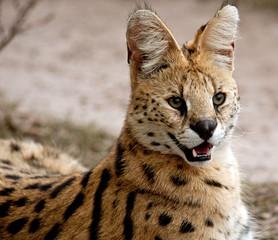 South Africa, Mpumalanga, African Wild Cat