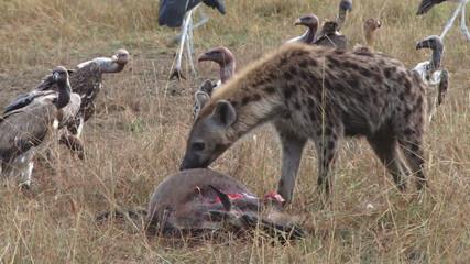 hyena eating a gnu alive 4