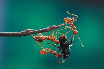 Ants hunting