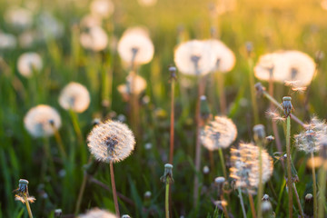 white dandelion flowers in green grass in sunset  summer garden