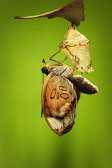 Indonesia, Jember, View of moths metamorphosis