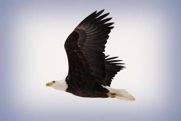 Sweden, Bald Eagle in Flight