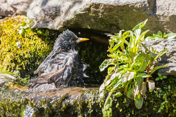Starling having a water bath on a warm day