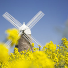 United Kingdom, West Sussex, Halnaker Windmill in field of flowers