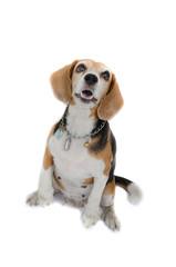 Beagle dog sitting isolate on white background