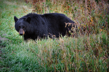 USA, Wyoming, Yellowstone National Park, Portrait of Black Bear