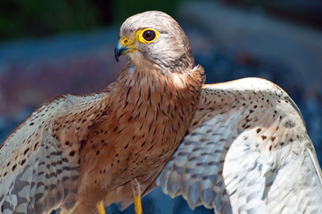 South Africa, South African Rock Kestrel