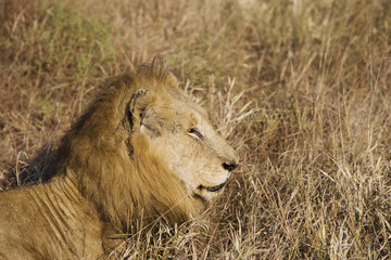 Lion resting in long grass