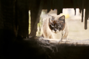 Spain, Siamese cat looking through hole
