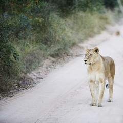 Lioness on sand track in the wild