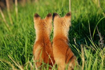 Rear View Of Foxes