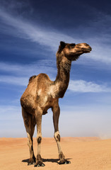 Wahiba Sands, Oman Camel