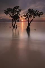 Indonesia, West Sumatra, Mangrove trees