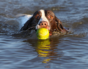 UK, Norfolk, Wells-next-the-Sea, Dog fetching tennis ball, swimming in sea