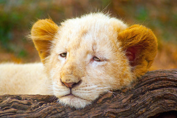 Picture of White Lion Cub (Panthera leo krugeri) lying on tree trunk