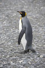 King Penguin - South Georgia