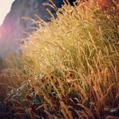 Close-up of feather grass reeds