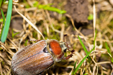 Cockchafer on the grass (macro )