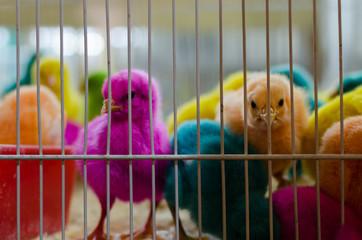 Multi-colored baby chickens