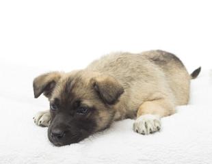 Cute puppy lying on a fluffy white blanket