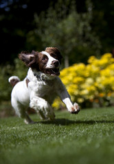 UK, Peterborough, Thorney, View of happy running dog
