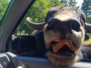 American Bison putting his head inside car