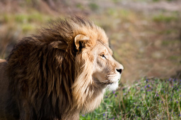 Limpopo, Eastern Cape, South Africa, Lion