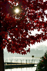 Italy, Sun shining through red foliage of maple tree with lake pier in blurred background