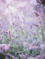 Provence, France, Lavender In Provence