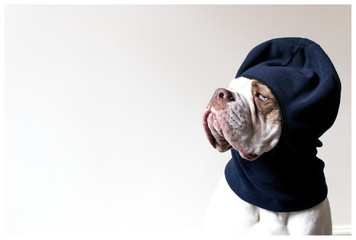 White bulldog in blue balaclava