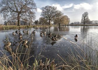 UK, England, Surrey, Ducks on Ice