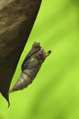Indonesia, Jember, Metamorphosis of moth
