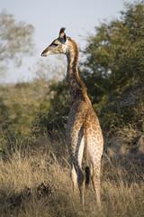 South Africa, Rear view of giraffe