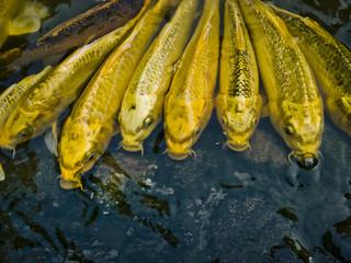China, Beijing, Golden fish
