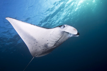 USA, Hawaii, Coastal Manta Ray (manta alfredi)