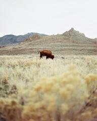 USA, Utah, Lonely buffalo grazing in grass