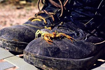 USA, Arizona, Scorpion (Hadrurus arizonensis) on boots