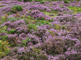 Close-up of heather