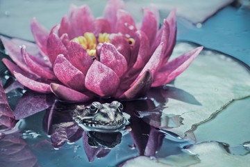 Croatia, Zagreb, Frog and water lily