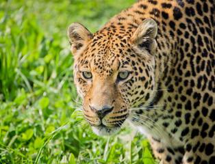 Portrait of leopard against grass