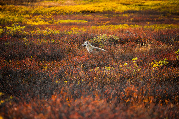 USA, Alaska, Denali National Park, Wolf in colorful meadow
