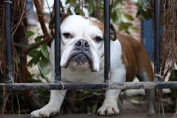 Bulldog looking through fence