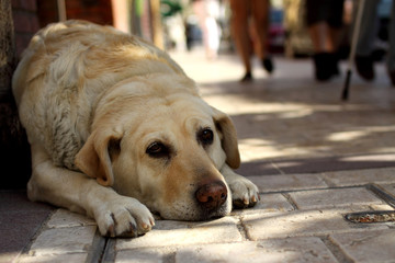 France, Labrador Retriever lying in street