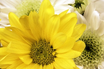 isolated yellow and white daisies