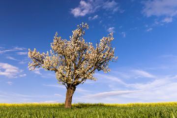 Field, cherry tree and blue sky