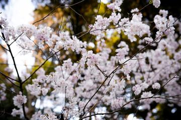 Spring Sakura Cherry Blossom, Hanami
